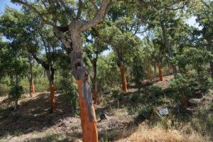 グアダルーペ近郊のクルミ樫